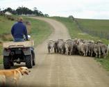 Los animales conducidos en manada o en rebaño... 1