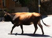 Los conductores deben ceder el paso a los animales... 1