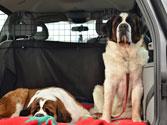 El conductor de este vehículo, ¿está obligado a mantener la adecuada colocación de los animales que transporta? 1